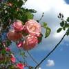 秋のバラとおれんじおおさか