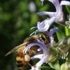 ローズマリーのミツバチ