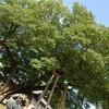 京都御苑の清水谷家の椋。