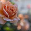 秋薔薇と野の花