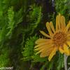 【こまつの杜】こまつの杜で貰ったヒマワリが咲いた【ヒマワリ】