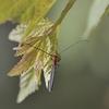 ホソツツリンゴカミキリ