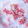 今日は桜の日