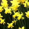 三月の庭【満開水仙】