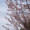 桜はどうなった?