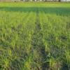 大雨後の田んぼの様子です。明日は除草機で汗だくに♪