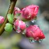 雨にぬれた木瓜のつぼみ