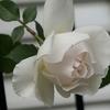 つるバラ葉落としと12月上旬の庭