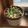 多肉植物を挿し芽してから約1ヶ月が経ちました。