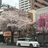 見事な桜、昼と夜2017