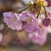 馬見丘陵公園の河津桜と梅
