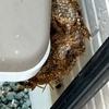 浜松市でゴミ箱横に巣を作っていたアシナガバチの巣を駆除してきました!