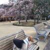 今日もビーグルと梅散歩♪ 春日野、文珠と河津桜も咲きました