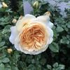 今日からゴールデンウィーク後半 バラも結構咲きだしました。 なのに雨。