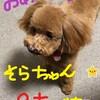 愛犬そらちゃん4月24日 2歳になりました、ますます可愛いです。