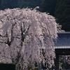 超満開だった光前寺の桜