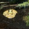 アマゾンツノガエル Ceratophrys cornuta