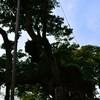 千葉県にある巨木を見に行ってまいりました。