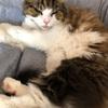 【猫さんと暮らす】トイレットペーパーずたずたにされた事件