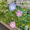 【家庭菜園】朝顔咲きすぎ問題