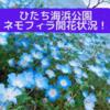 【2021/5/1】ひたち海浜公園ネモフィラ開花状況を紹介!【GW】