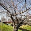 浜松市芳川の桜の開花(3/25)