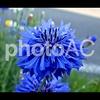 写真AC/植物雑記:No.005 ヤグルマギク