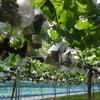 兎ッ兎ワイナリー 鳥取市国府町 ワイン製造 ブラックビート