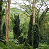 ワイキキから車でたった30分の場所に大自然に囲まれたマノアの滝があります。全身で雄大な自然を感じられます。(Hawaii, Manoa falls)