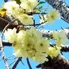 鬼嫁弁当 No.133~135 緑の桜