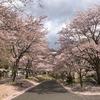 素通り禁止!足利・松田川ダムの桜