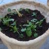 麻袋をプランター代わりにして植物を植えてみました。