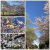 ひとりウォーキング 桜もそろそろ葉桜
