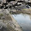 桜もちらほら、近所の散歩が楽しいです。