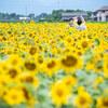 インスタに映えるひまわり畑!マルホ農園さん 四日市【東海ドライブ】