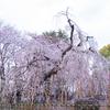 市川市の桜を楽しむ