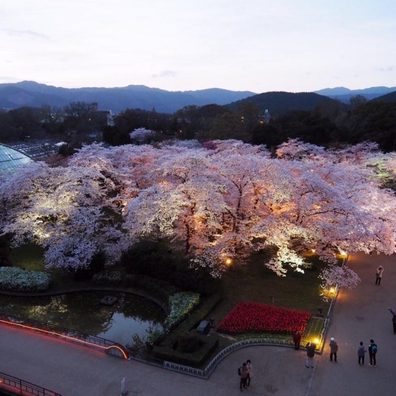京都はんなり歳時記〜春の府立植物園さくら便り〜