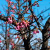 寒緋桜咲く