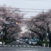 市役所前さくら通りの開花情報 (3月22日、23日 10:30 撮影)