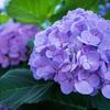 アジサイと紫陽花とあじさいと