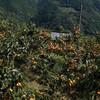 かつらぎ町の串柿の里、四郷に行くが敗北