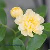 一番目に開花「モッコウバラ」