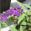 ブッドレアの開花
