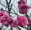 相模原北公園の梅園 梅が見頃になりました。
