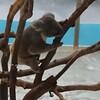 コアラの赤ちゃんを見るために多摩動物園に行ったよ。