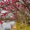 桃花島(浙江省・船山)旅行(3)桃花を求めて散策。桃花島の夜。
