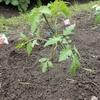 トマトの植え付けをしました。