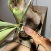 【ビカクシダ】古い胞子葉が役目を終え、次なる胞子葉が