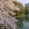 駿府城公園で花見1日目