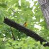 キビタキ・オオムシクイ・アオバト(大阪城野鳥探鳥 2018/05/19 4:30-11:00)